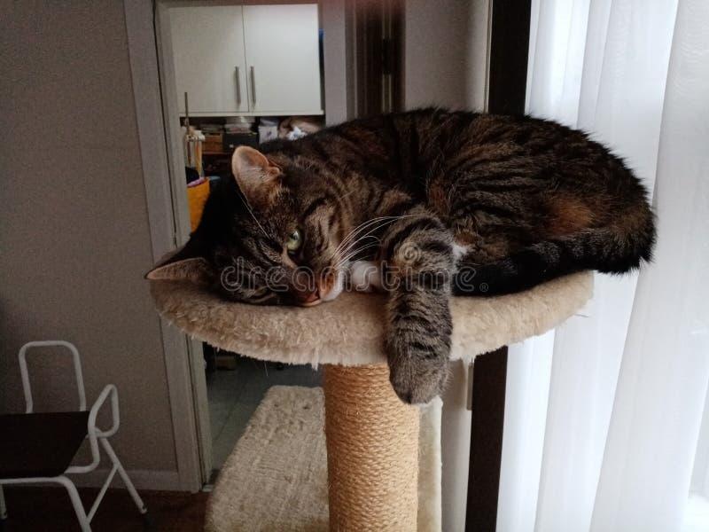 Gulliga Cat Marley Chilling på hennes träd royaltyfri fotografi