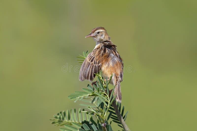 Gulliga fåglar för Zitting Cisticola Cisticola juncidis av Thailand royaltyfri foto