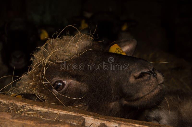 Gulliga får som ser från fönstret av ko-huset fotografering för bildbyråer