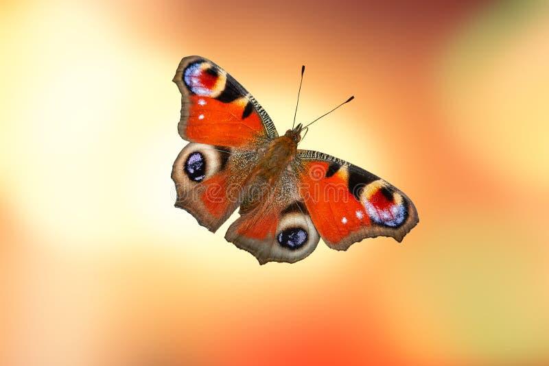 Gulliga fjärilsinachys io royaltyfri fotografi