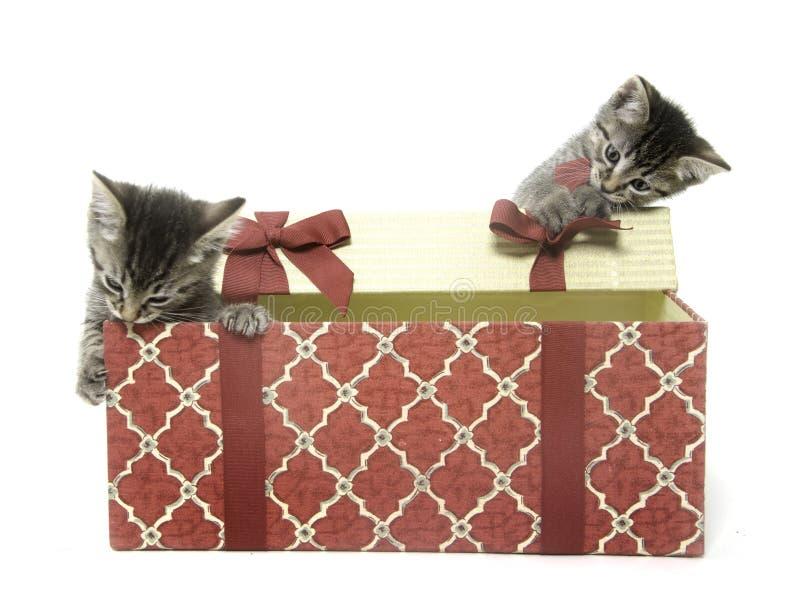 gulliga gåvakattungar för ask som leker två royaltyfria foton