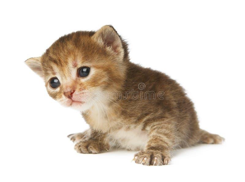 Gulliga grå färger gjorde randig den isolerade kattungen royaltyfri fotografi