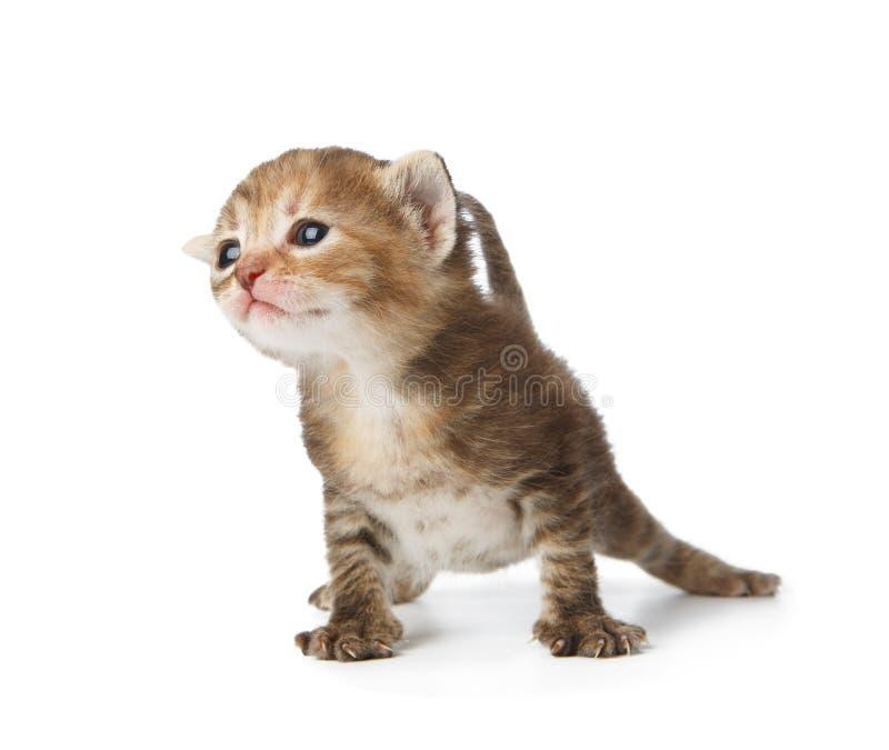 Gulliga grå färger gjorde randig den isolerade kattungen royaltyfri bild