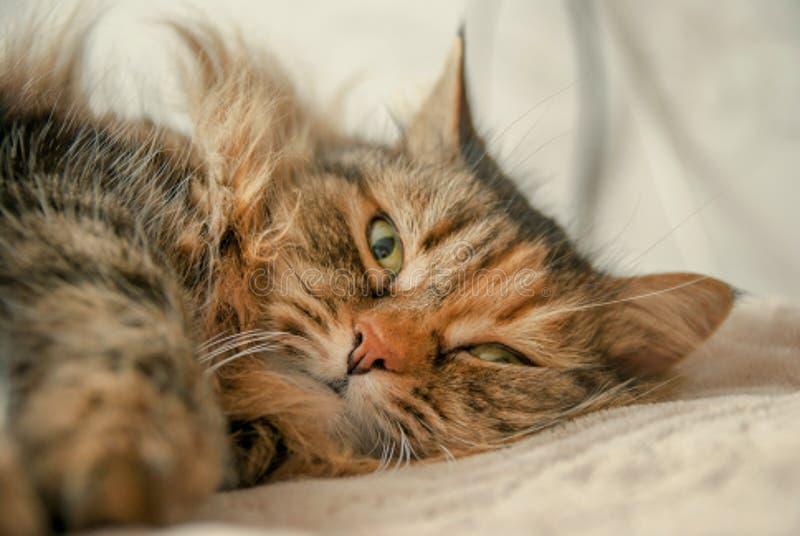 Gulliga Grey Cat Lying på sängen som ser dig fotografering för bildbyråer