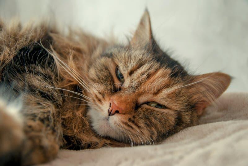 Gulliga Grey Cat Lying på sängen som ser dig royaltyfri bild