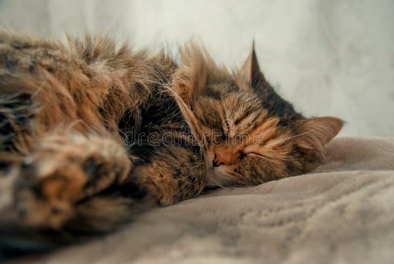 Gulliga Grey Cat Lying på sova för säng royaltyfria bilder