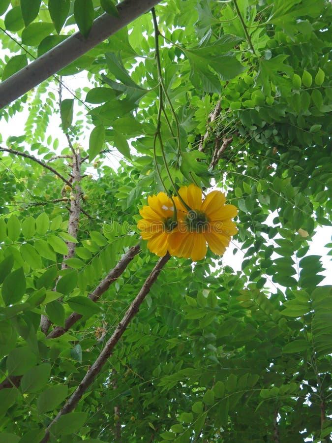 Gulliga gula par av blommor med grön bladbakgrund arkivfoto