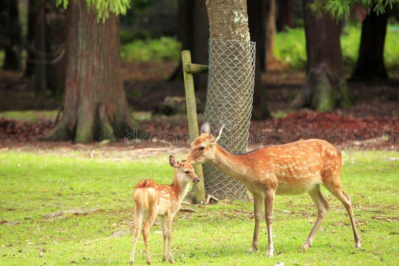 Gulliga hjortar i Nara Park royaltyfri foto