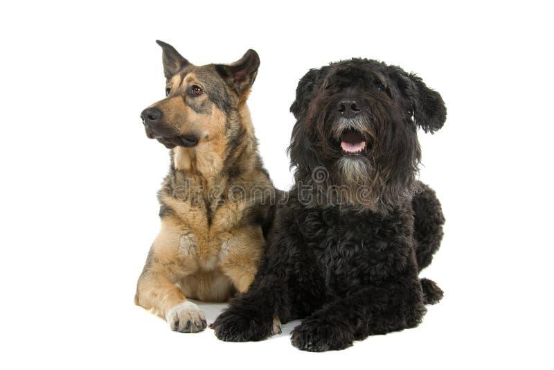 gulliga hundar två royaltyfri fotografi