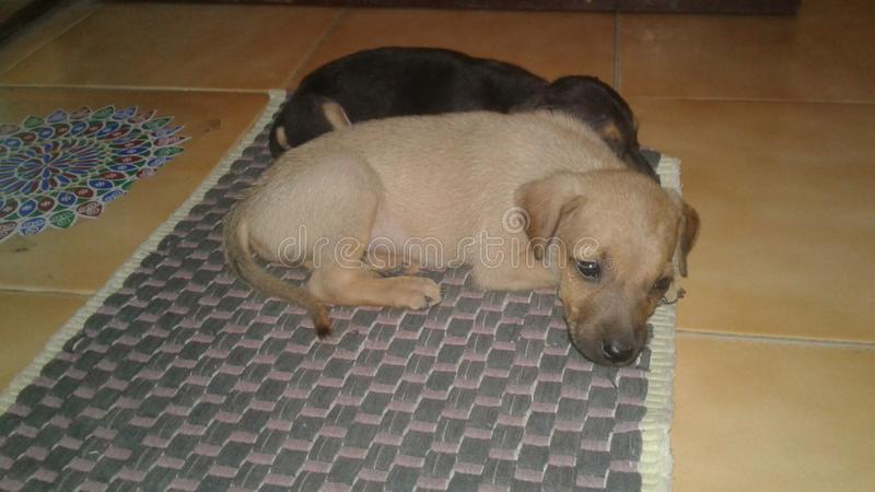 gulliga hundkapplöpningfoto fotografering för bildbyråer