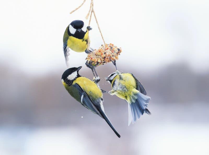 Gulliga hungriga fågelmesar är flyga och slåss på de förlagematarna royaltyfria bilder