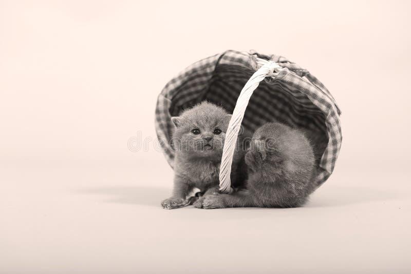 Gulliga kattungar i en korg fotografering för bildbyråer