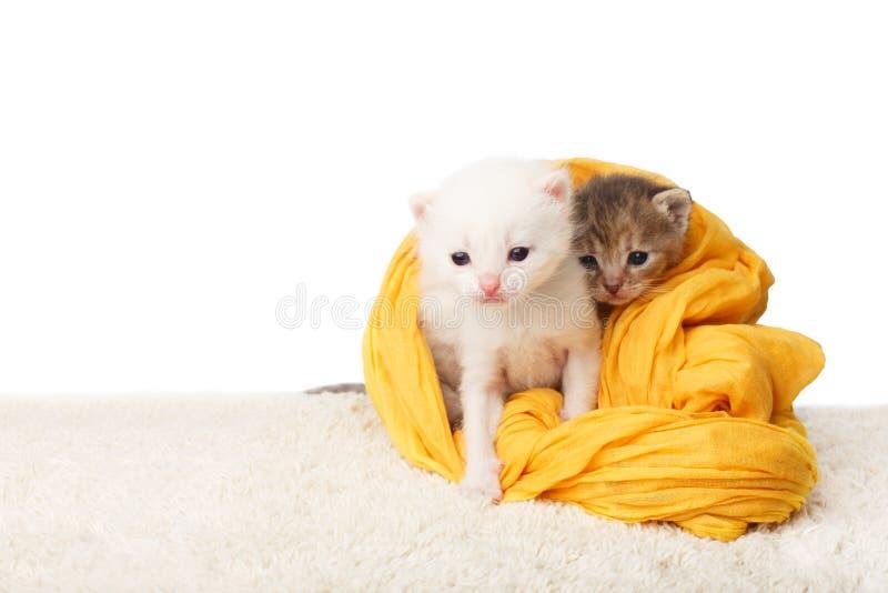 Gulliga kattungar i gul bomull fotografering för bildbyråer