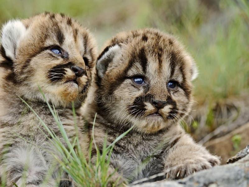Gulliga kattungepumor spelar på gräset Kattungepumor är olika från vuxna människor i första hand vid färg royaltyfria foton
