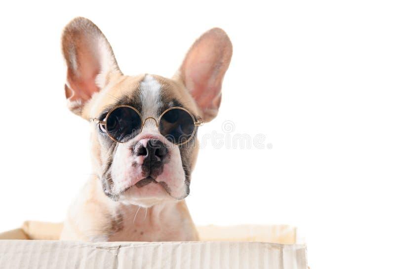 Gulliga kl?dersunglass f?r fransk bulldogg i pappersask arkivfoto