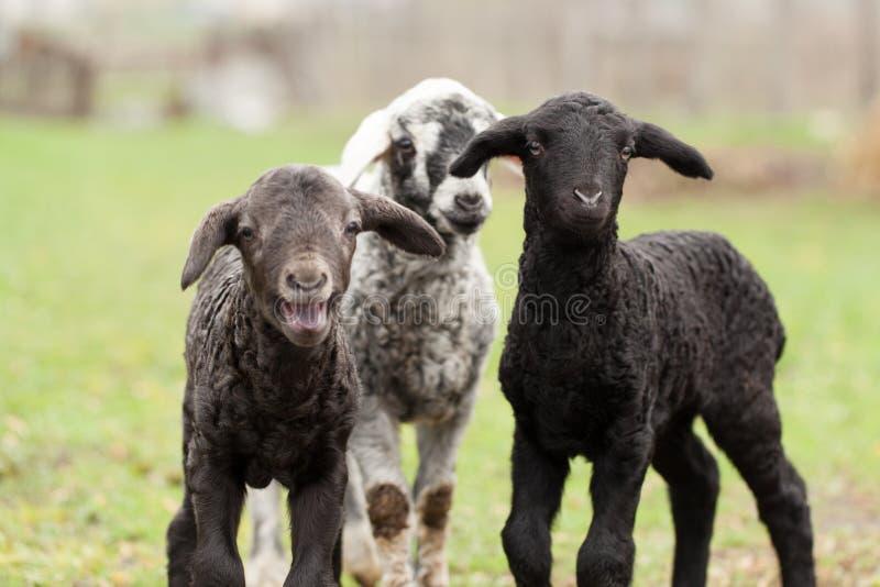 gulliga lambs royaltyfri fotografi