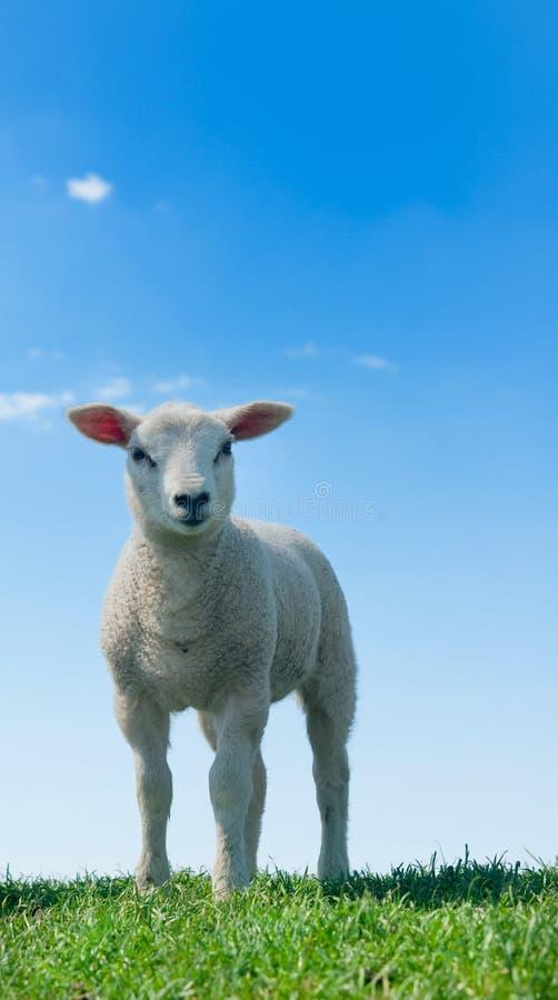 gulliga lambs