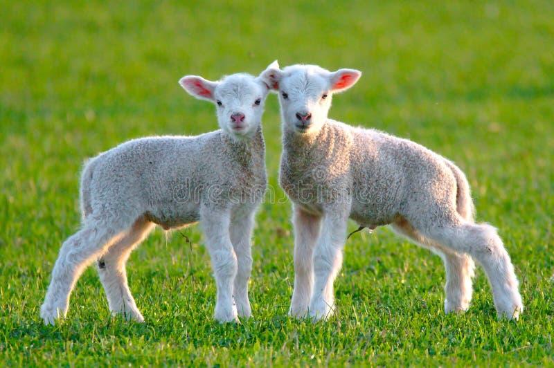 gulliga lambs två royaltyfri bild