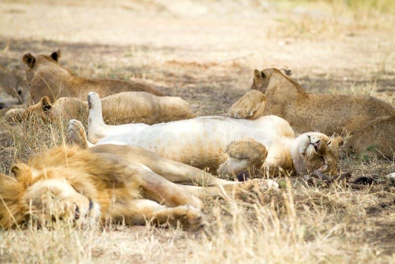 Gulliga lejonsömnar på baksidan med tafsar i luft royaltyfri bild