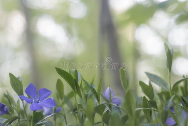 Gulliga lilablommor och gräsplansidor i en vår parkerar royaltyfri fotografi