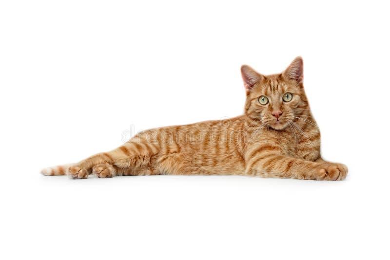 Gulliga ljust rödbrun kattlögner på jordningen och se till kameran - sidosikt som isoleras på vit royaltyfria bilder