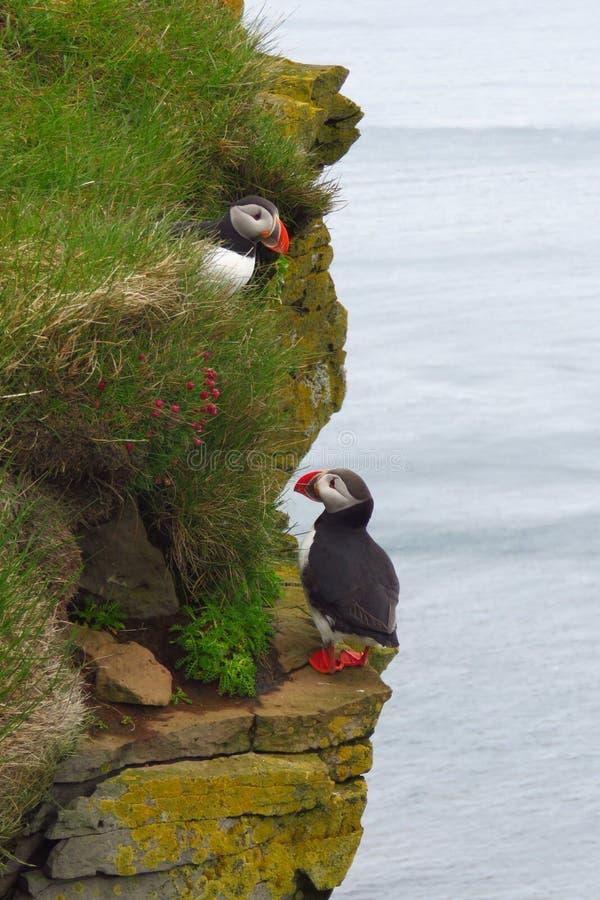 Gulliga lunnefåglar på Latrabjarg fågelklippor, Westfjords, Island fotografering för bildbyråer