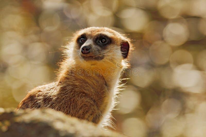 Gulliga Meerkat, Suricatasuricatta som sitter p? tr?dstammen i ?ng f?r vit blomma, Namibia H?rligt djur i naturen royaltyfria bilder
