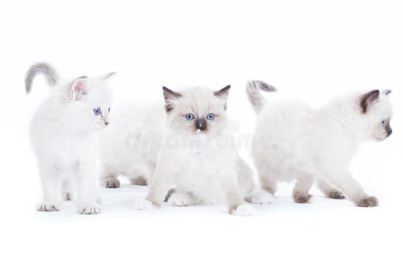 Gulliga Ragdoll kattungar fotografering för bildbyråer