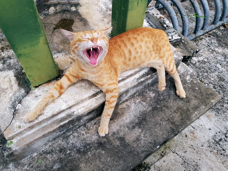 Gulliga sömniga orange inhemska Tabby Cat Yawning Showing Teeth och tunga arkivbild