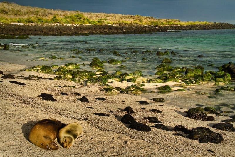 Gulliga sjölejon som sover i La Loberia, sätter på land, San royaltyfri foto