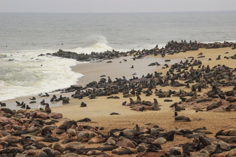 Gulliga skyddsremsor stojar på kusterna av Atlanticet Ocean i Namibia fotografering för bildbyråer
