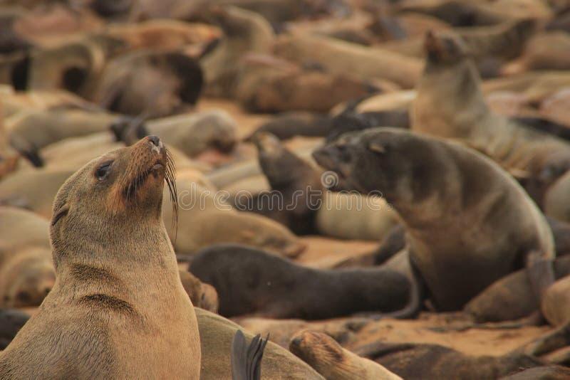 Gulliga skyddsremsor stojar på kusterna av Atlanticet Ocean i Namibia royaltyfri foto