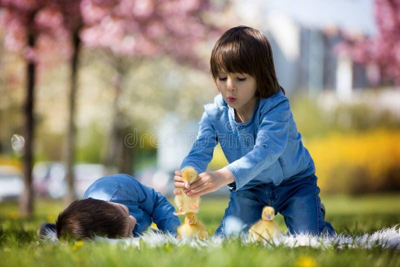 Gulliga små barn, pojkebröder som spelar med ankungesprin arkivbilder