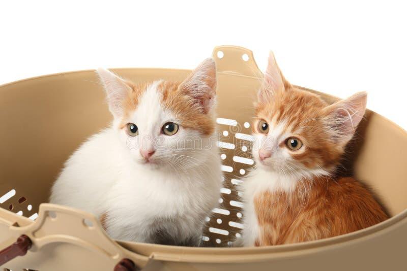Gulliga små kattungar i plast- korg på vit bakgrund arkivfoto