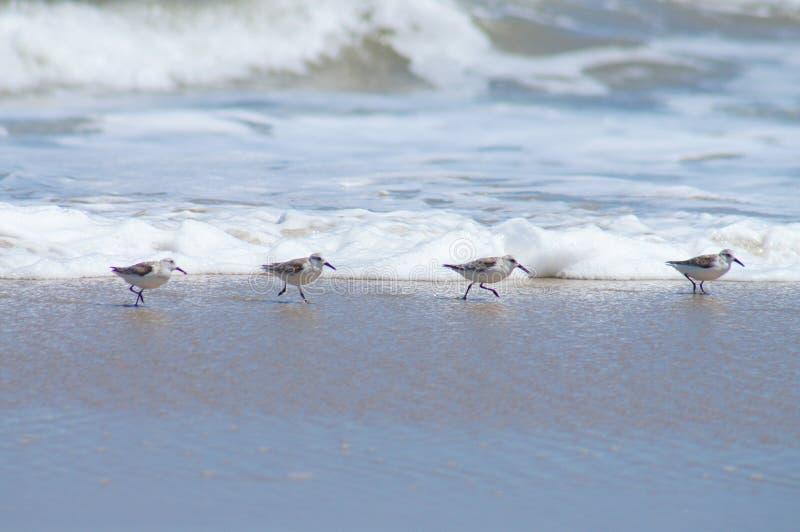 Gulliga snäppor som kör längs shorelinen i de yttre bankerna fotografering för bildbyråer