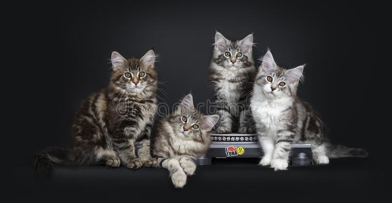 Gulliga strimmig kattMaine Coon kattungar på skivspelaren på svart bakgrund arkivbild