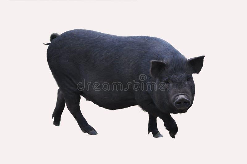 Gulliga svarta svin royaltyfri foto