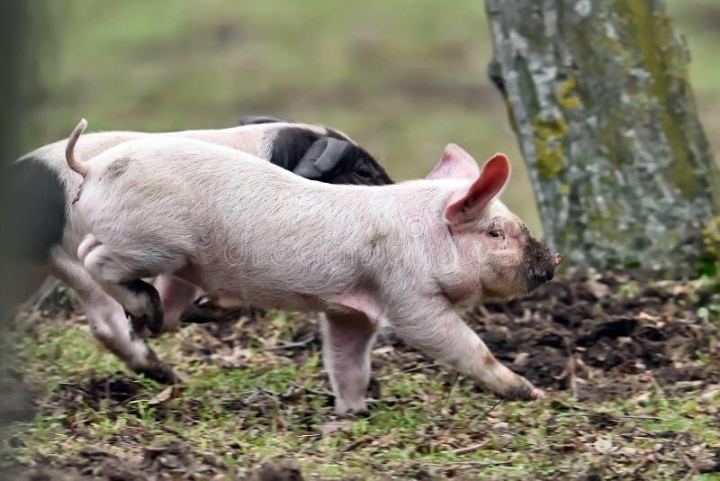Gulliga svin som kör på fält royaltyfri bild