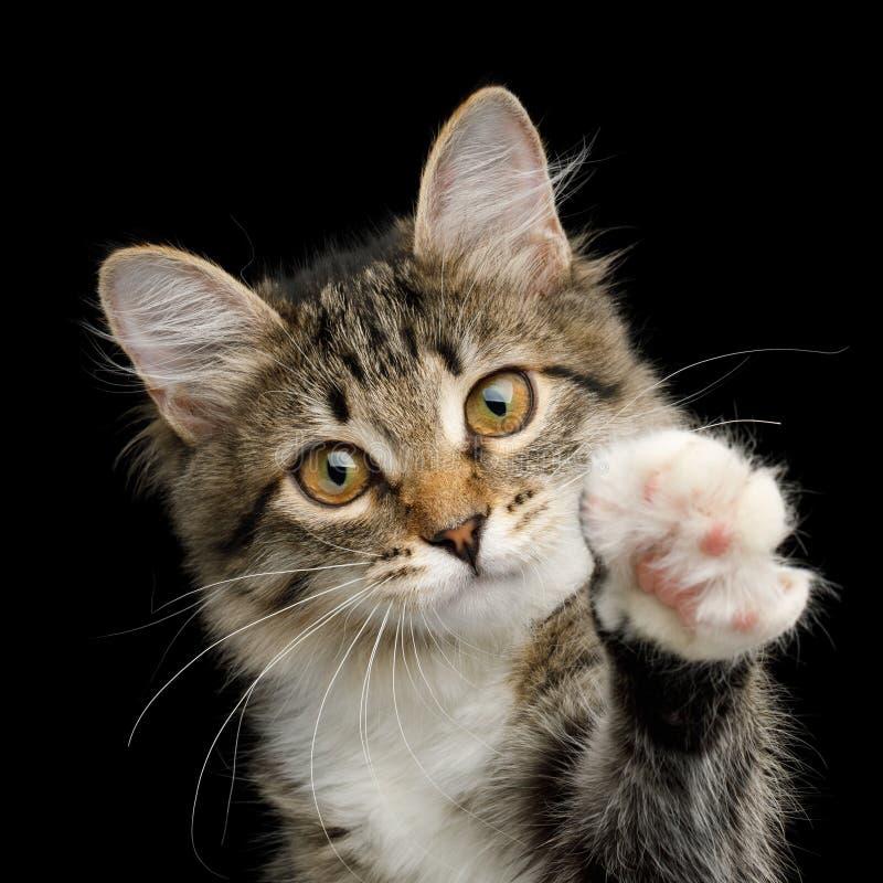 Gulliga Tabby Kitten på svart bakgrund arkivbild