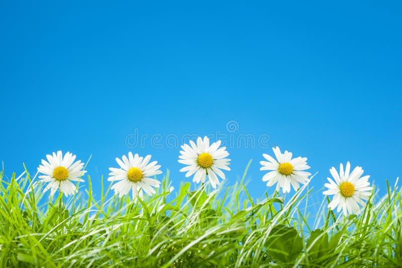 Gulliga tusenskönor i rad i grönt gräs med blå himmel royaltyfri bild