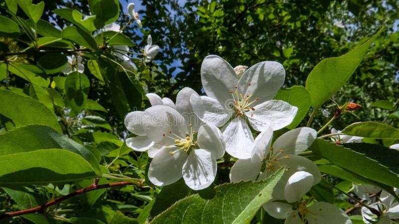 Gulliga vita blommor från ett äppleträd i solljuset royaltyfri foto