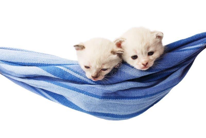 Gulliga vita kattungar i en isolerad hängmatta arkivfoton