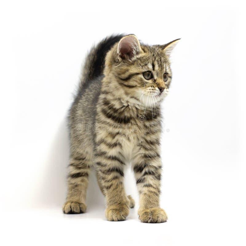 Gulligt anseende för strimmig kattbruntkattunge som isoleras på vit bakgrund Nyfödd kattunge, ungedjur och förtjusande kattbegrep royaltyfri foto