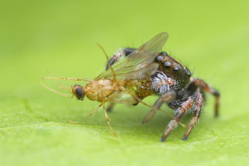 Gulligt behandla som ett barn hoppa spindeln som äter rovet på grön bladbakgrund i natur arkivbild