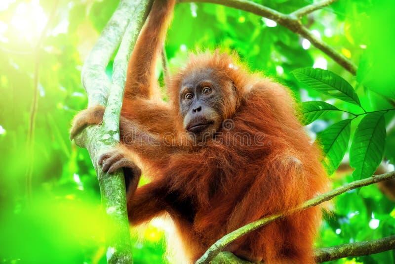 Gulligt behandla som ett barn orangutanget som hänger på träd i den exotiska rainforesten Sumatra, Indonesien royaltyfri bild