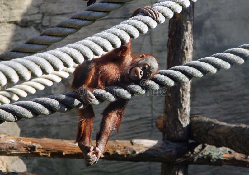 Gulligt behandla som ett barn orangutanget som vilar i aviarium arkivbild