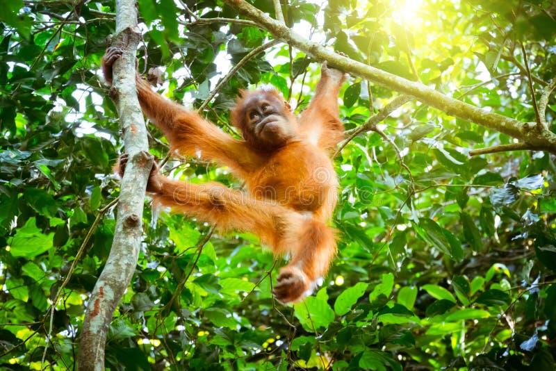 Gulligt behandla som ett barn orangutanget som vilar på träd i den exotiska rainforesten Sumatr arkivbilder