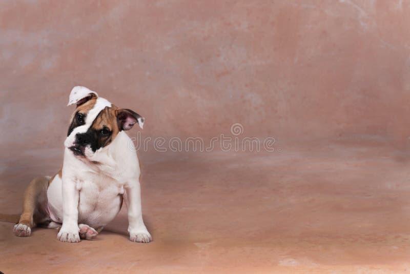 Gulligt engelskt bulldoggvalpsammanträde på brun bakgrund royaltyfria foton