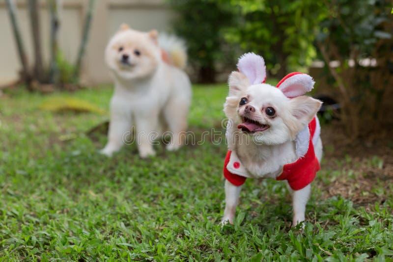 Gulligt husdjur för lycklig hund för chihuahua liten arkivbilder