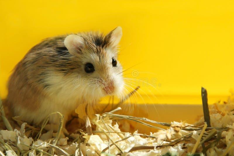 Gulligt husdjur för Roborovski hamster som ser - gul bakgrund royaltyfri fotografi